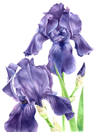 Hand drawn watercolor iris flowers Фото со стока