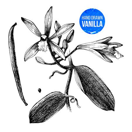バニラの植物が描かれたボタニカル イラストを手します。  イラスト・ベクター素材