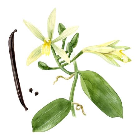 水彩のバニラ植物