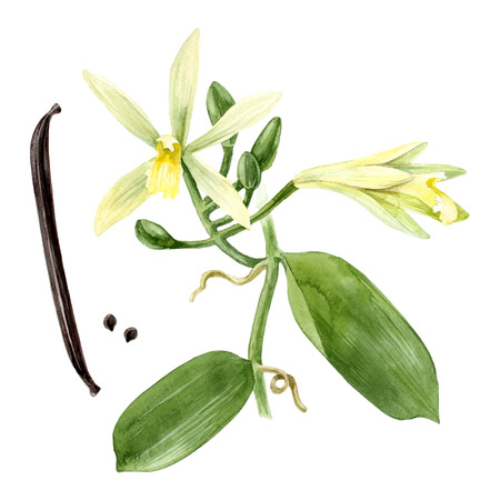 Watercolor vanilla plant 向量圖像