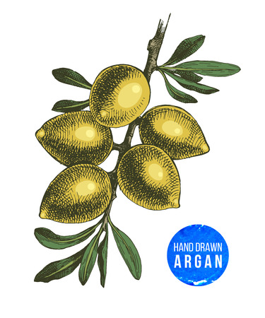 Hand drawn argan nuts branch isolated on white background vector illustration