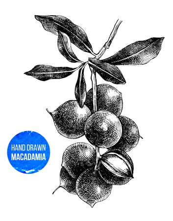 Hand drawn macadamia tree branch isolated on white background. Vector illustration Stock Illustratie