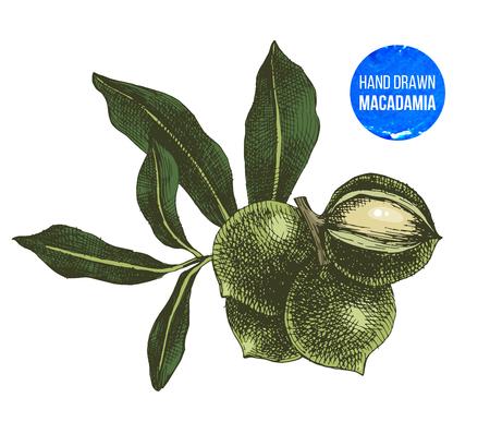 Hand drawn macadamia nuts isolated on white background. Vector illustration Illusztráció