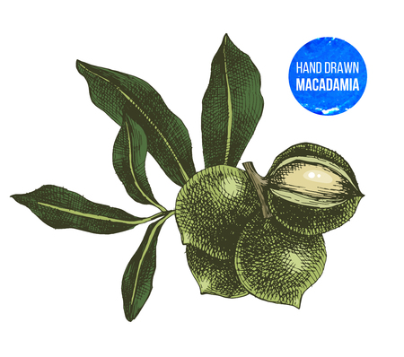 Hand drawn macadamia nuts isolated on white background. Vector illustration Vettoriali