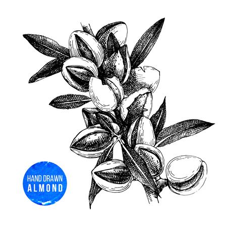 Ramo di mandorle disegnato a mano con foglie e noci