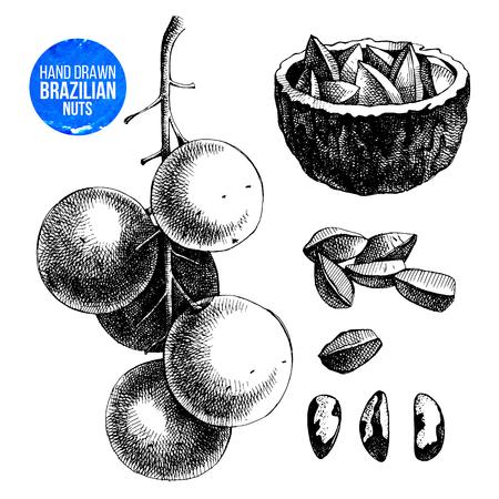 Illustrazione disegnata a mano delle noci del Brasile