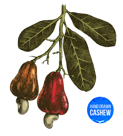 Hand drawn cashew tree branch
