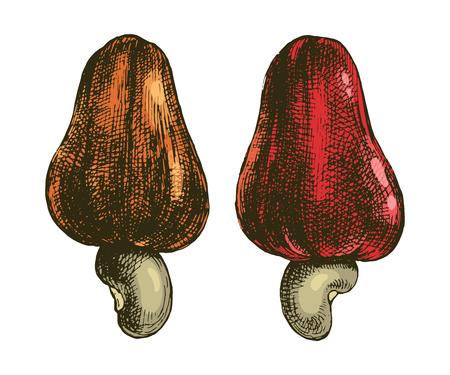 Hand drawn cashew fruits