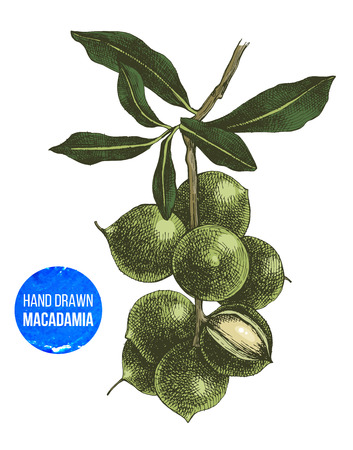 Hand drawn macadamia tree branch Illustration