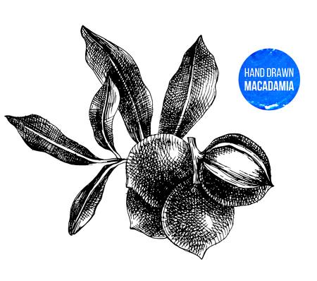 Hand drawn macadamia nuts Vector Illustration