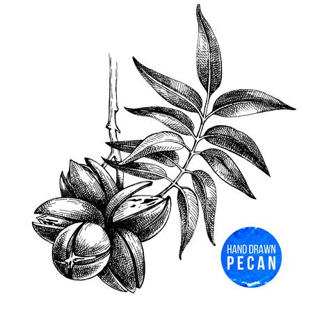 Hand drawn pecan nuts