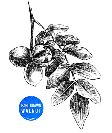 Hand drawn branch of walnut Stok Fotoğraf - 87047280
