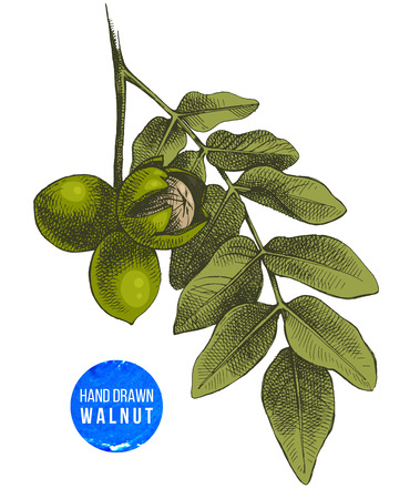 Hand drawn branch of walnut Imagens - 87404738