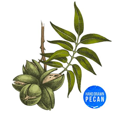 Hand drawn pecan nuts Imagens - 87404743