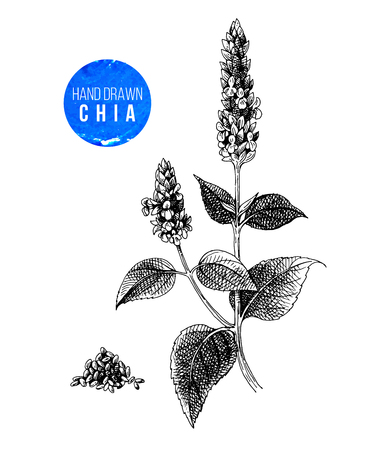 Hand drawn black and white chia plant and seeds. Vector illustration