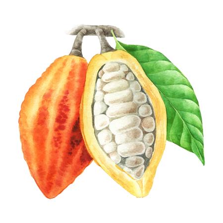 흰색 배경에 고립 된 잎 수채화 코코아 콩 깍 지