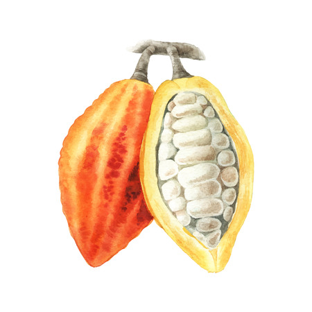 Watercolor illustration of cocoa branch with pads and leaves isolated on white background