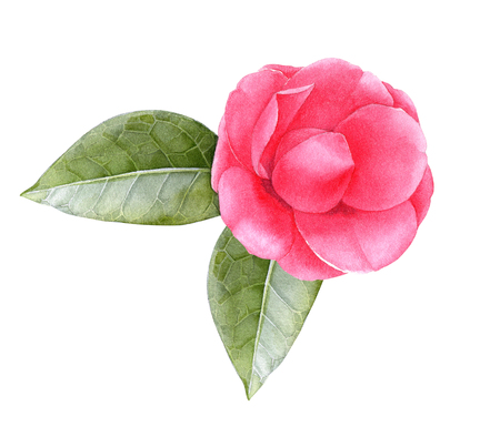 Watercolor pink camellia flower with leaves