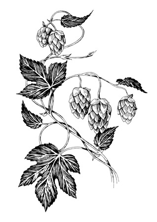 Hand drawn hop branch with leaves and cones Vector illustration. Vettoriali