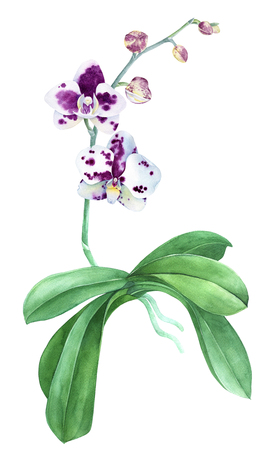 Watercolor orchid isolated on white background
