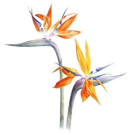 Bird of paradise - strelitzia - flower watercolor