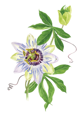 Watercolor passion flower branch Illustration