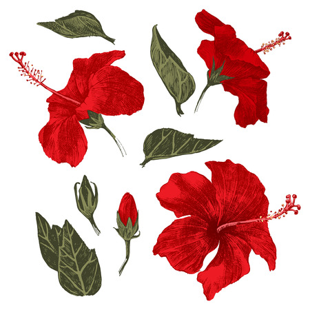 Hand drawn colorful hibiscus leaves, flowers and buds . Vector illustration.