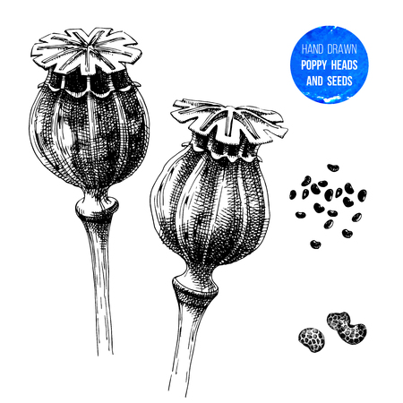 Hand drawn poppy heads and seeds. Vector illustration in retro style Illustration