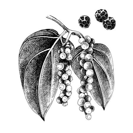 Hand drawn black pepper plant Çizim