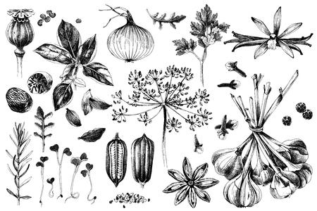 Conjunto de hierbas y especias orgánicas frescas dibujadas a mano. Ilustración de vector de estilo vintage