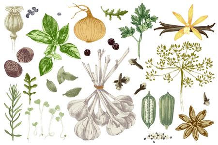 Set di erbe e spezie disegnate a mano colorate organiche fresche. Illustrazione vettoriale in stile vintage