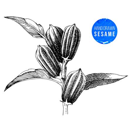 Planta de sésamo muy detallada dibujada a mano. Ilustración vectorial en estilo vintage Ilustración de vector