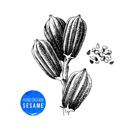 Hand drawn highly detailed sesame plant and seeds. Vector illustration in vintage style