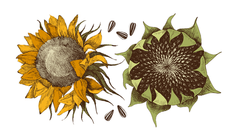 Hand drawn sunflower with ripe seeds. Vector illustration in retro style