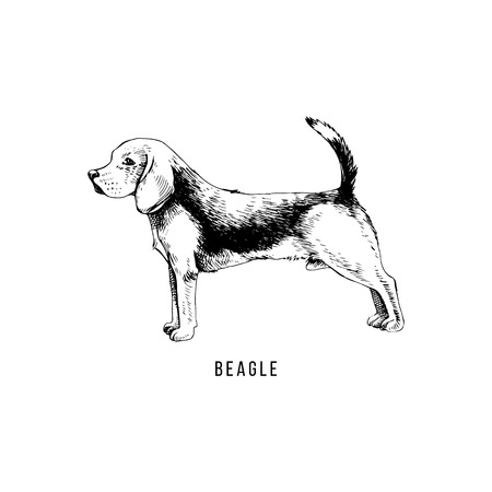 Hand drawn beagle. Vector illustration in retro style