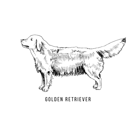 Hand Drawn Golden Retriever