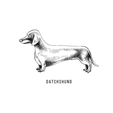 Hand drawn dachshund