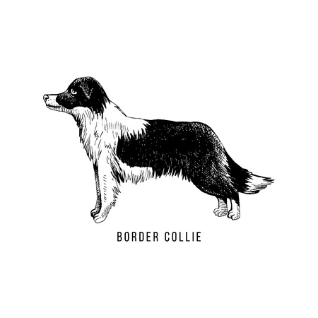 Hand sketched border collie Çizim
