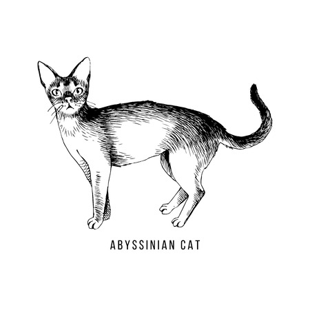 Hand drawn abyssinian cat Ilustração