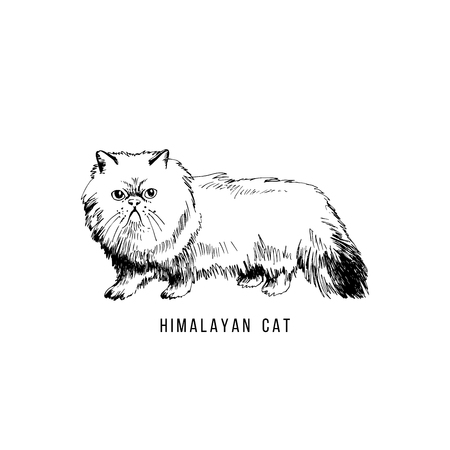 Hand drawn himalayan cat Illustration