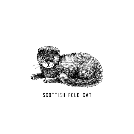 Hand drawn scottish fold cat