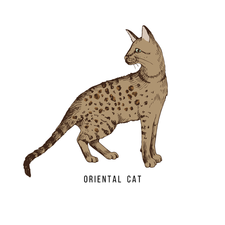 Hand drawn oriental cat Фото со стока - 112656504