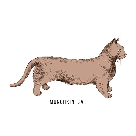 Hand drawn munchkin cat Illustration