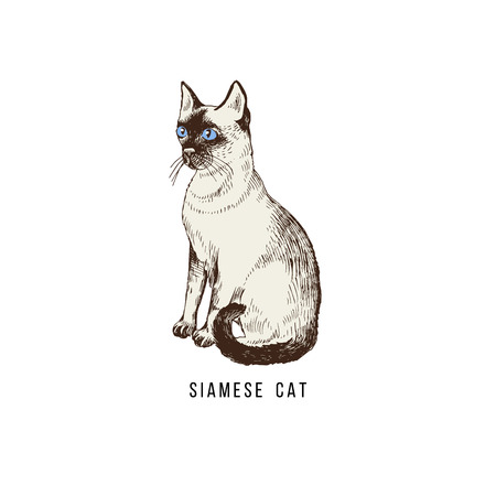Hand drawn siamese cat Stock Photo