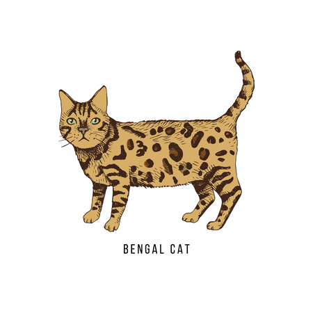 Hand drawn bengal cat 写真素材