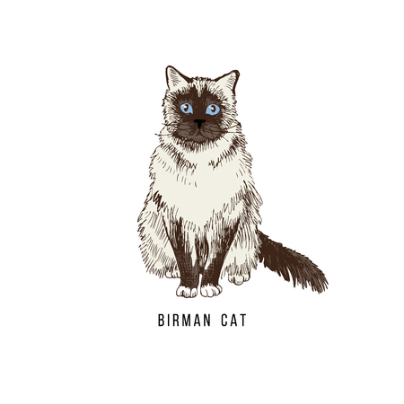 Hand drawn birman cat Stock Photo