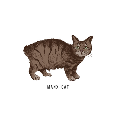 Hand drawn manx cat