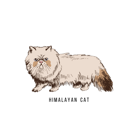 Hand drawn himalayan cat 写真素材