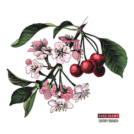 Colorful hand drawn cherry branch with flowers and ripe cherries. Vector illustration