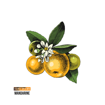 Hand drawn colorful mandarin - tangerine, clementine - branch with flowers and fruits. Vector illustration Illustration